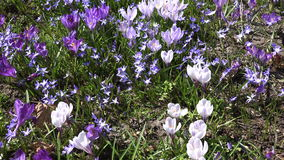Crocus and squill flowers move in wind in spring garden. 4K stock video