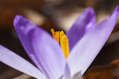 Crocus - stamens Royalty Free Stock Photography