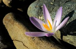 Crocus in the sun Royalty Free Stock Photography