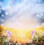 Crocus on sunny meadow against sunset sky , spring background Royalty Free Stock Photo