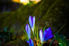 Crocus at sunset in the forest in spring royalty free stock photo