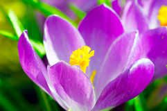 Crocus. Two crocus growing near one of which opened Royalty Free Stock Photo