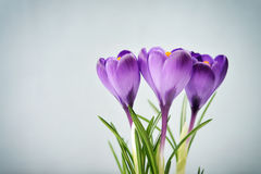 Crocus in vase Stock Photo