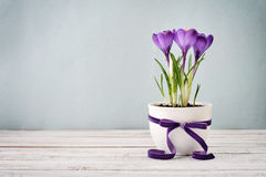 Crocus in vase Stock Image