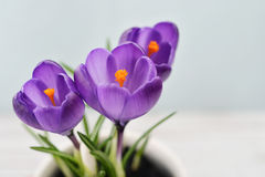 Crocus in vases Royalty Free Stock Image
