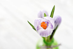 Crocus in vases Stock Photography