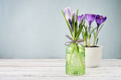 Crocus in vases Royalty Free Stock Images