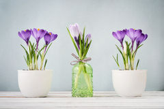 Crocus in vases Royalty Free Stock Photos