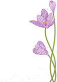Crocus. Vector background with flowers of crocus Stock Image