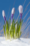 Crocus vernus Stock Photos