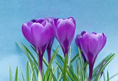 Crocus Vernus Royalty Free Stock Photo