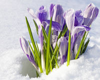 Crocus vernus Pickwick. SIlver-lilac crocuses with lilac stripes emerging from under snow cover in the garden, early spring Stock Photography