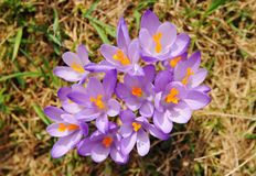 Crocus vernus - saffron flower Royalty Free Stock Images