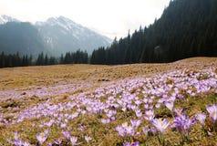 Crocus vernus - saffron flower Stock Images