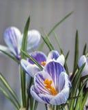Crocus vernus,Spring Crocus. Giant Crocus is a species in Family Iridaceae royalty free stock image