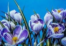 Crocus vernus,Spring Crocus. Giant Crocus is a species in Family Iridaceae stock photography