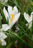 Crocus vernus Spring Crocus Royalty Free Stock Images