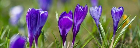 Crocus vernus - spring flower. S close up in the detail stock image