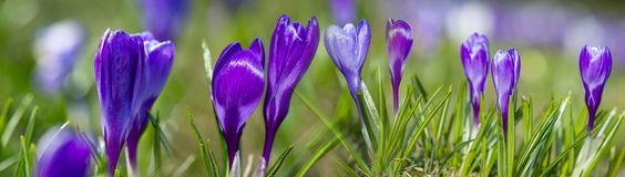 Crocus vernus - spring flower. S close up in the detail stock photography
