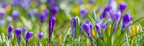 Crocus vernus - spring flower. S close up in the detail royalty free stock photo