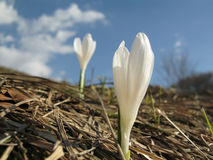 Crocus vernus. Subsp. albiflorus, in a natural landscape of Italian Alps Stock Image