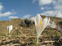 Crocus vernus. Subsp. albiflorus, in a natural landscape of Italian Alps Stock Photo