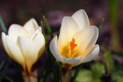 Crocus vernus - two blossoms of spring crocus are standing in th. E sunshine with a mixed blurry background. Its native to Europe: the Alps, the Pyrenees and the royalty free stock image
