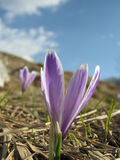 Crocus vernus. Violet crocus (Crocus vernus) in early spring Stock Photography