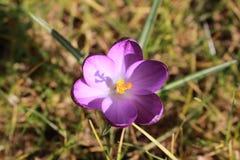 Crocus violets sur l'herbe Image stock