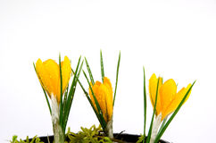 Crocus with waterdrops Royalty Free Stock Photo