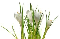 Crocus white Royalty Free Stock Image