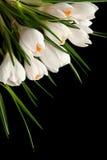 crocus white Zdjęcie Royalty Free
