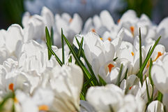 Crocus white. White crocus flower in the spring Royalty Free Stock Photo