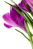 Crocus on white background Royalty Free Stock Images