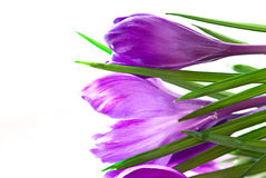 Crocus on white background Royalty Free Stock Photos