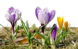 Crocus on a white background Royalty Free Stock Photo