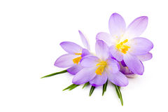 Crocus on white background Stock Photo