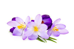 Crocus on white background Royalty Free Stock Photo