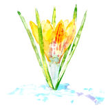 Crocus on a white background. Postcard of a spring flower. Stock Photography