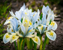 Crocus. White crocuses in the lawn. The 8th of March Royalty Free Stock Image