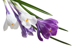 Crocus white and purple stock image