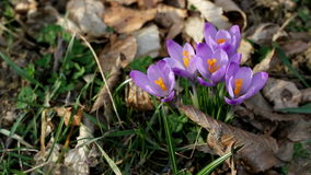 Crocus in the wind Royalty Free Stock Images