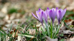 Crocus in the wind stock video footage
