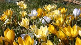 Crocus in yellow colours stock footage
