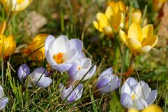 Crocus yellow Royalty Free Stock Photos