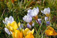 Crocus yellow Royalty Free Stock Images