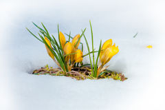 Crocus yellow spring flowers Royalty Free Stock Images