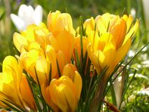 Crocus, Yellow, White, Bloom Royalty Free Stock Image