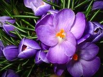 crocus zamknięcia kwiatek purpurowy, Zdjęcie Royalty Free