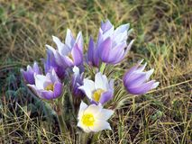 Crocus1 Foto de Stock Royalty Free